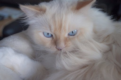 hair-cat