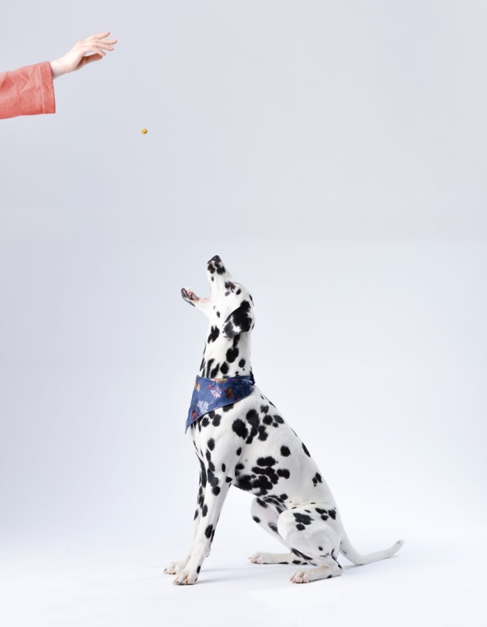dalmatian sitting white surface